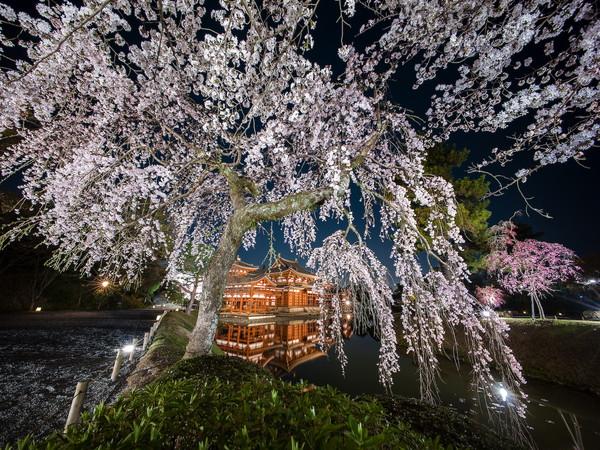 桜ライトアップs.jpg